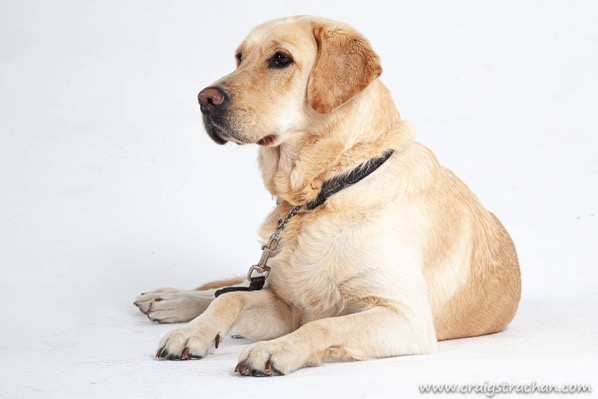 The image shows the head of a blonde Labrador, wearing a white collar.